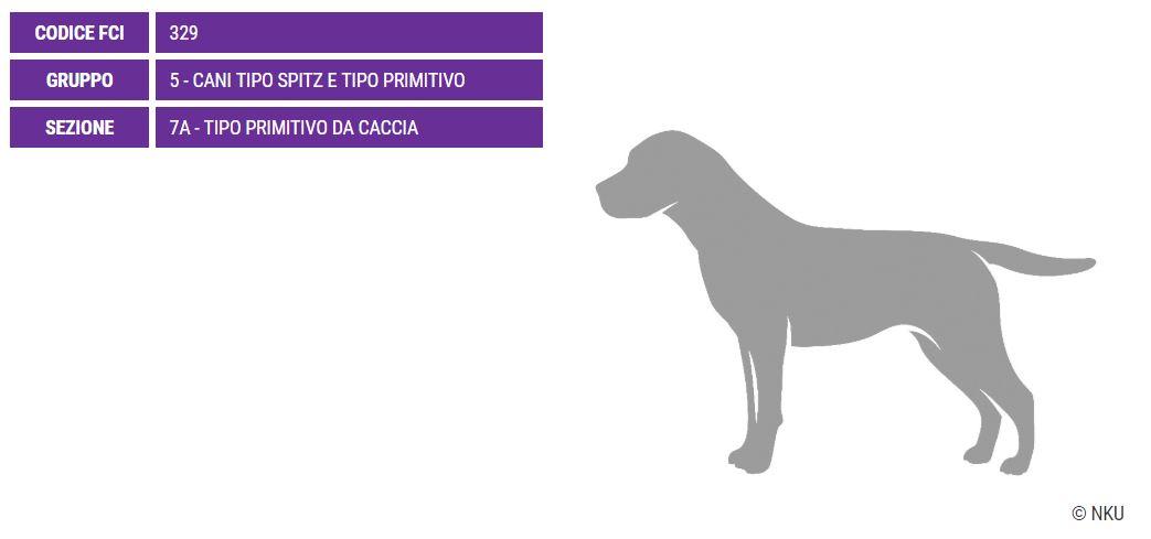 conosciamo meglio il Podenco Canario, adatto sia per la caccia, la guardia e per essere un ottimo cane da compagnia.