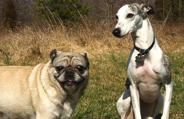 Pulga perros: la visita incomoda, que hacer