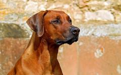 Temperatura normal de un perro: ¿fiebre?