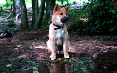 Japanese dog breeds you will love: let's discover six of them