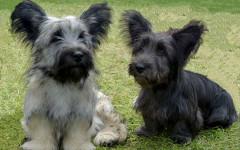 Skye Terrier, carattere e prezzo - Razze cani