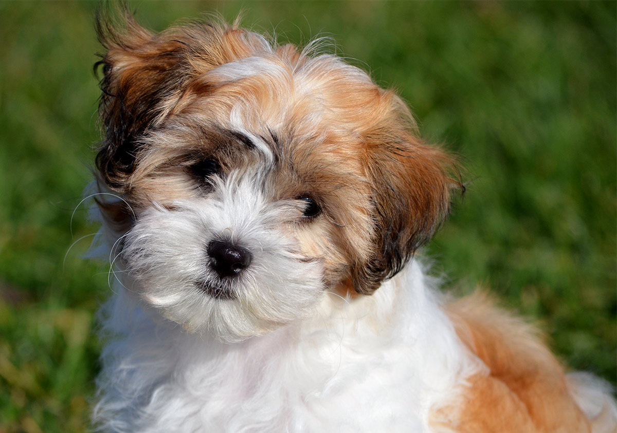 Teddy bear dogs: what you need to know