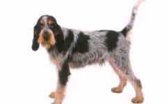 Griffon Bleu de Gascogne, carattere e prezzo - Razze cani