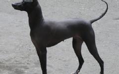 Perro sin pelo del Perù, carattere e prezzo - Razze cani