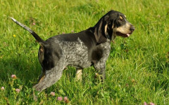 Petit Bleu de Gascogne, carattere e prezzo - Razze cani