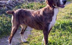 Segugio maremmano, carattere e prezzo - Razze cani