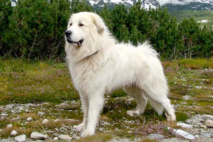 Slovensky Cuvac, carattere e prezzo - Razze cani