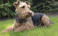 Welsh terrier, carattere e prezzo - Razze cani