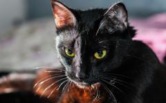Pulga gatos: prevención y tratamiento