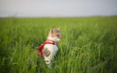 Addestrare gatto al guinzaglio: come fare?