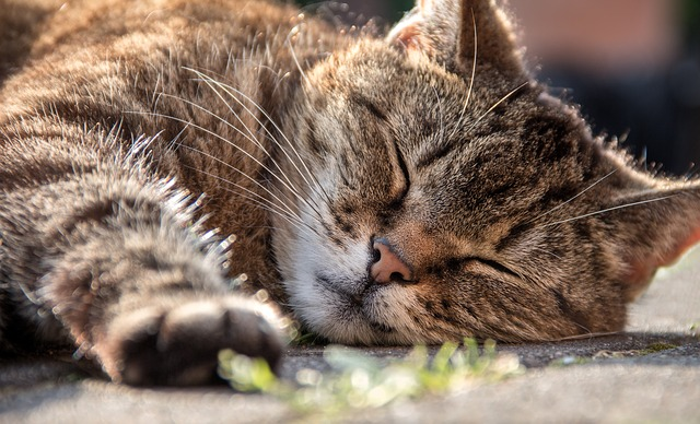 Lethargy in cats: causes, symptoms and treatment