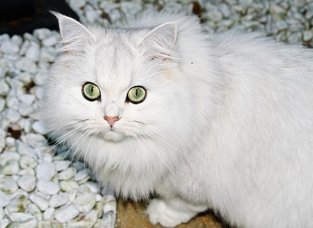 Gatti mancini e destri, esistono? Lo ipotizza la scienza
