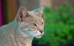 Ácaros en gatos: prevención para el bienestar felino
