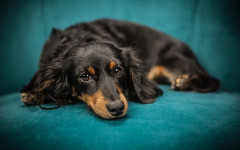 Gastrointestinal ulceration in dogs: symptoms and treatment