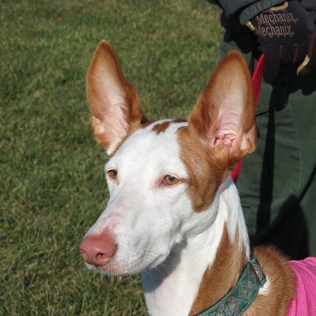 Podenco Ibicenco, carattere e prezzo - Razze cani