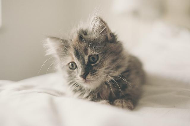 Muda pelo gato: todo sobre el cambio de pelo felino