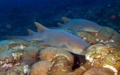 Tiburón gato, datos curiosos: ¿existe un felino tiburón?
