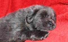 Tibetan Mastiff, carattere e prezzo - Razze cani