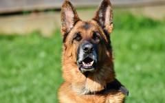 Perro de guardia: características y temperamento