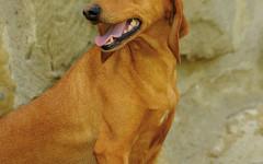 Segugio dell'Appennino, carattere e prezzo - Razze cani