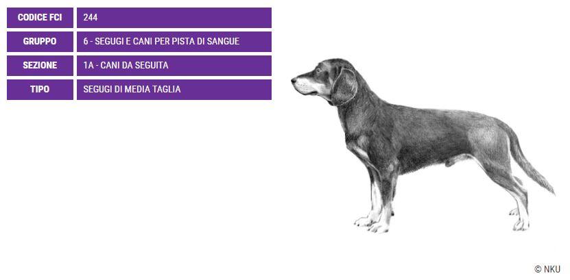 Slovensky Kopov, carattere e prezzo - Razze cani