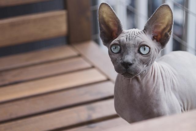 Gato calvo: ¿conoces los gatos sin pelo?