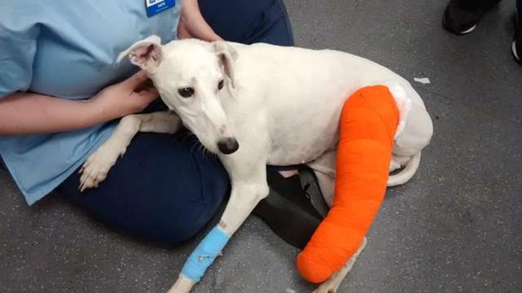 Cane ferito lasciato sulla porta di una casa
