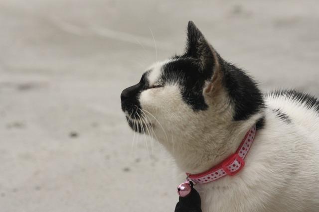 Collares para gatos: posibilidades, usos y algunos consejos