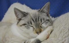 Ronroneo gato: un misterio felino interesante
