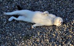 Gato panza arriba: significado de un gesto tierno