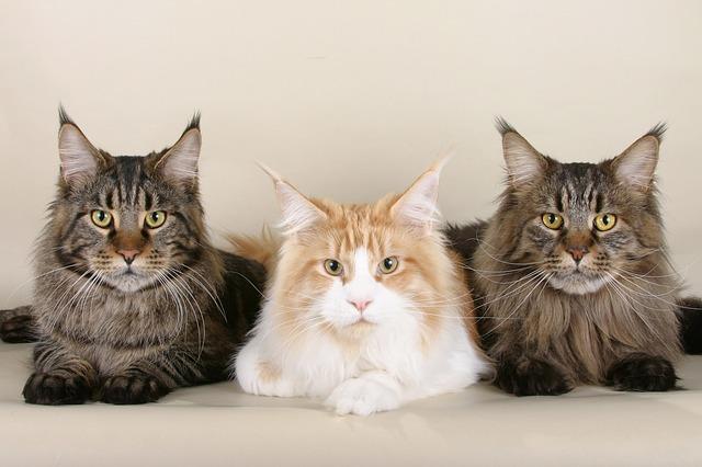 Gato grande: las razas de gatos más grandes