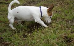 Cani raspano terreno dopo aver fatto i bisogni: perché?