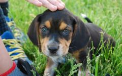 Cane salva bambina da rapimento: Ray è un eroe