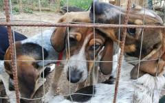 Cuccioli mix segugi cercano casa: appello per adozione