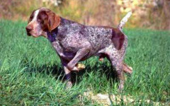 Perro perdiguero: gran raza para la caza