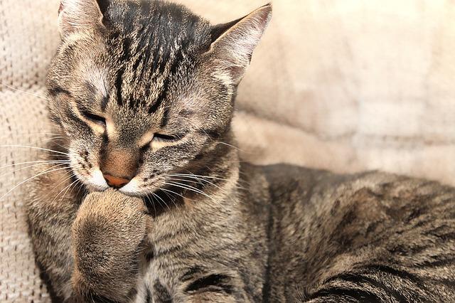 Gatos se lavan tanto: mantener el aseo personal a tope