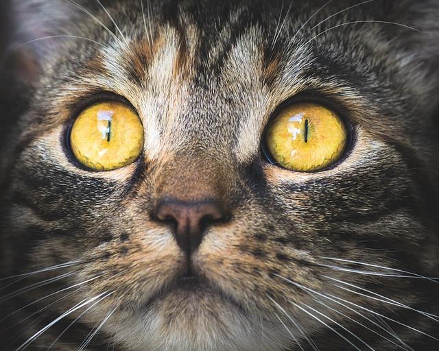 Conjuntivitis en gatos: un problema común
