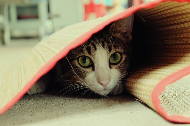 Mi gato se esconde: ¿por qué hará eso?