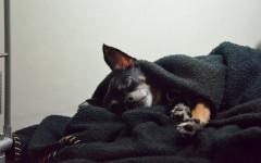 Perro mueve las patas cuando duerme: ¿es normal?
