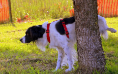 Why do Male Dogs lift their legs to urinate?