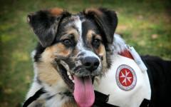 Perro lazarillo: todo sobre los perros guías