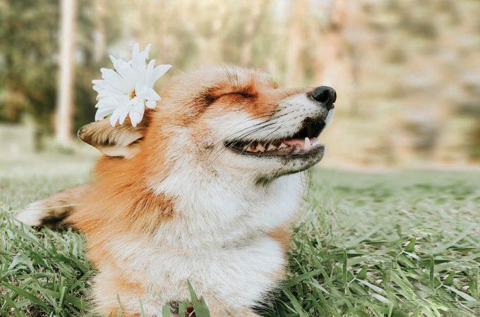 Juniper the fox: una volpe per amica