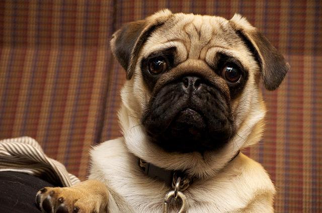 Razas de perros más tranquilas: adorables y tranquilos
