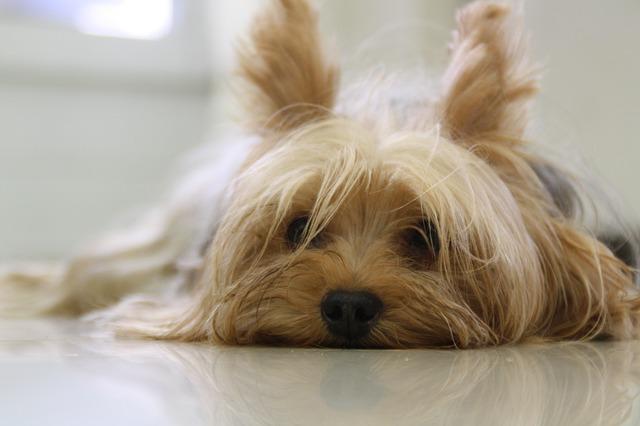 Occhio secco nel cane: quali sono le razze più colpite?