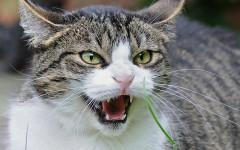 Gatto soffia: quali sono i motivi di questo comportamento?