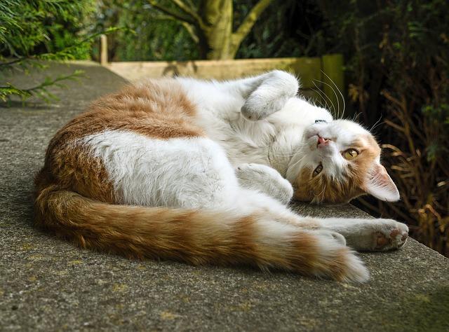 Gato se revuelca: una manera de expresar sentimientos
