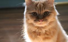 Gato quiere salir de casa: ¿porque? ¿Qué hacer?