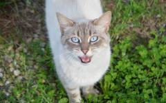 Gato maullador: sinfonía que no es para todos