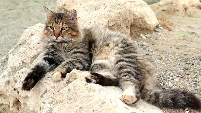 Calcoli nel gatto: sintomi, cause e trattamenti