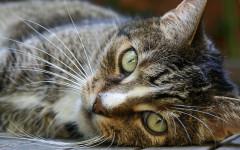 Bigotes del gato: características y función